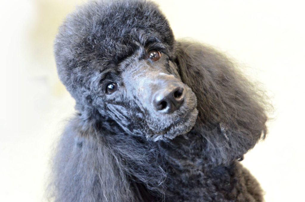 Planet Poodle Small Dog Grooming Services