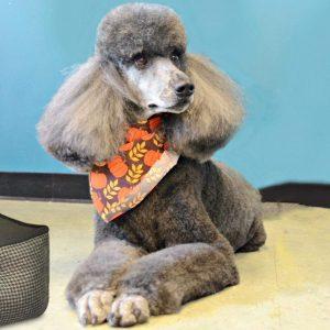 poodle wearing a pumpkin bandana